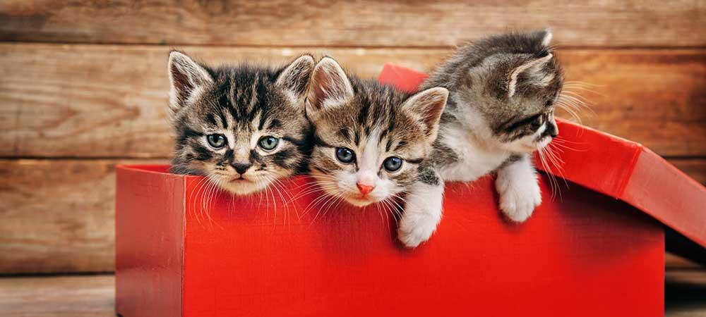 adopt a kitten